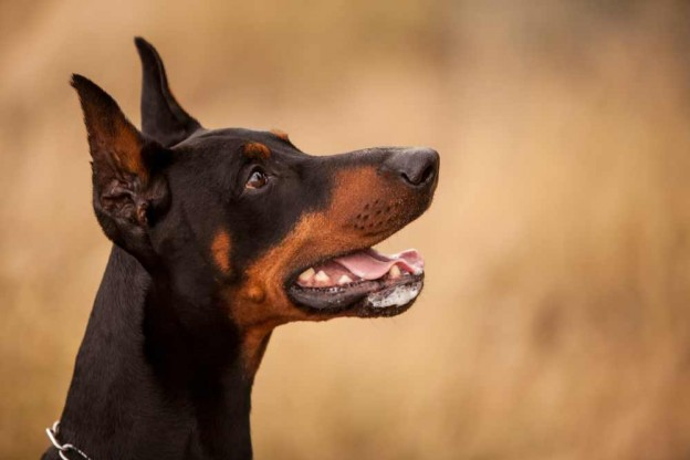 DOBERMAN SIDE PROFILE BY LIFE OF RILEY PHOTOGRAPHY